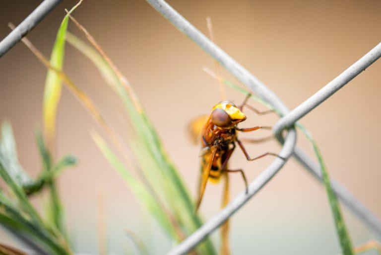 """Not """"Murder Hornets"""" but Cicada Killers"""