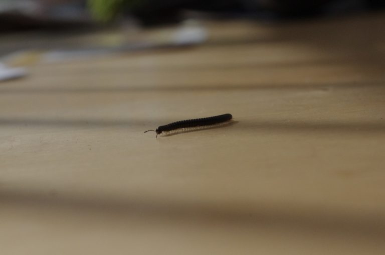 Millipede numbers appear up this year