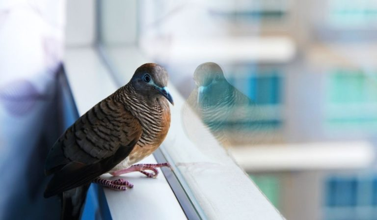 Birds Attacking Your Windows? Here's How to Stop It