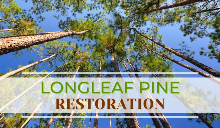 Grants Available to Landowners in East Texas to Help Restore Longleaf Pine Forests