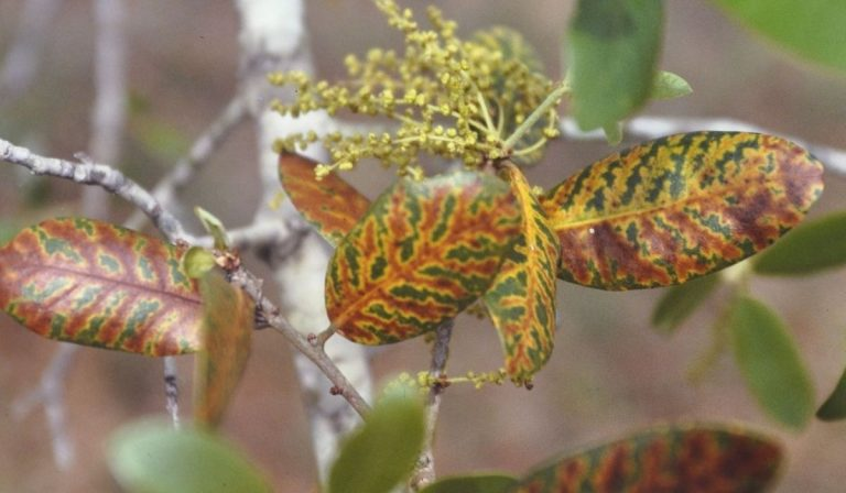 Prevent the Spread of Oak Wilt in Texas this Spring