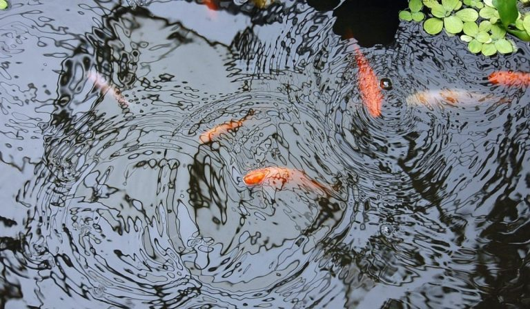 Weed-eating fish for your farm pond