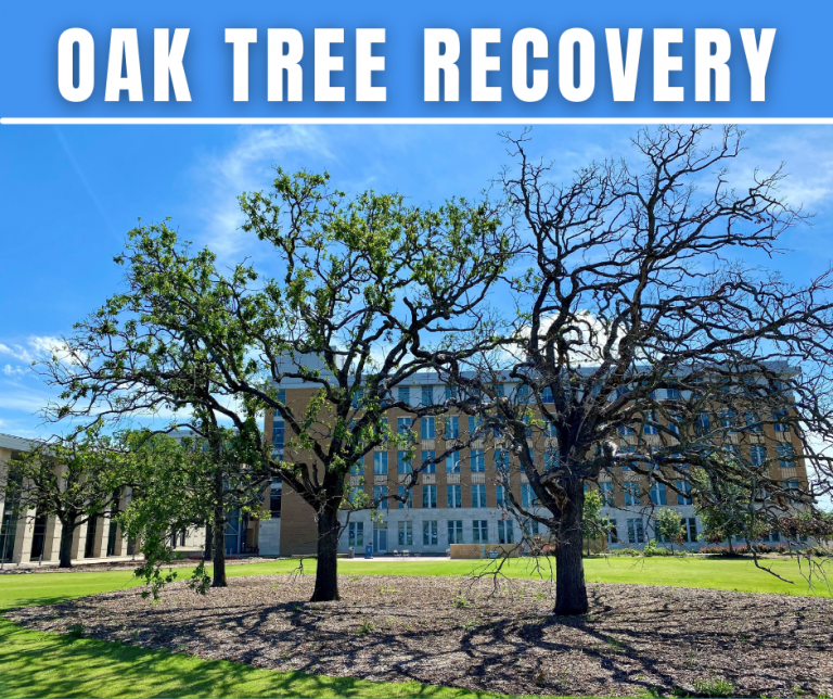 Oak Trees are Still Recovering from the Winter Storm